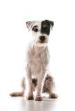 Terrier de Jack Russel image stock