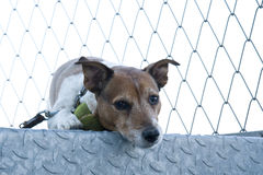 Terrier de Jack Russel Imagens de Stock Royalty Free