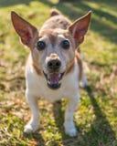 Terrier de Jack Russel Imagem de Stock