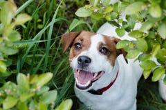 Terrier de Jack Russel Fotos de Stock