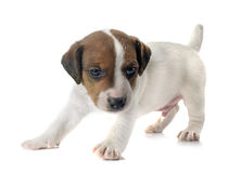 Terrier de Jack Russel de chiot Photos stock