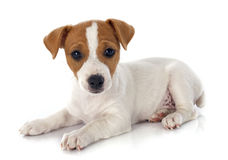 Terrier de Jack Russel del perrito Imagen de archivo