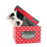 Terrier de Jack Russel del perrito Imagen de archivo libre de regalías