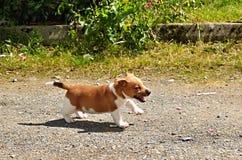 Terrier de Jack Russel del perrito Fotografía de archivo