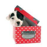 Terrier de Jack Russel do filhote de cachorro Imagem de Stock Royalty Free