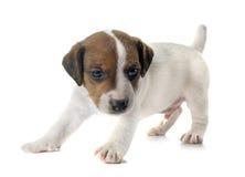 Terrier de Jack Russel do filhote de cachorro Fotos de Stock