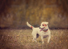 Terrier de Jack Russel no estilo do vintage Fotos de Stock Royalty Free