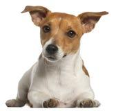Terrier de Jack Russell, 10 meses velho, encontrando-se Fotografia de Stock