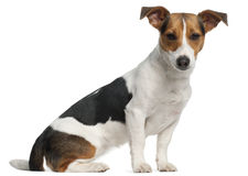 Terrier de Jack Russell, 12 meses velho, sentando-se Fotografia de Stock Royalty Free