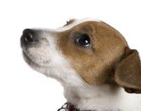 Terrier de Jack Russell, 12 semanas velho, olhando acima Fotografia de Stock Royalty Free