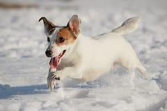 Terrier de Jack Russell Imagens de Stock