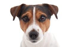 Terrier de Jack Russell Images stock