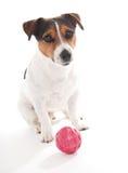 Terrier de Jack Russell Photos libres de droits