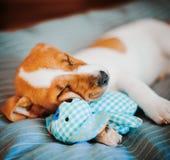 Terrier de Jack Russell Photographie stock libre de droits