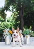 Terrier de Jack Russell Imagens de Stock Royalty Free