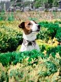 Terrier de Jack Russell Fotografia de Stock Royalty Free