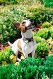 Terrier de Jack Russell Foto de Stock