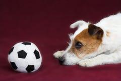 Terrier de Jack russell foto de stock royalty free