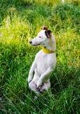Terrier de Jack Russell, chien se tenant sur ses jambes de derrière sur le pré d'herbe se reposant sur ses jambes de derrière et  Images stock