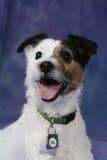 Terrier de Jack Russell com a boca aberta Fotos de Stock Royalty Free