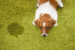 Terrier de Jack Russell del perrito que miente en una alfombra y que parece culpable Imagenes de archivo