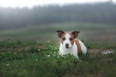 Terrier de Jack Russell del perro al aire libre fotografía de archivo