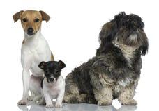 Terrier de Jack Russell do adulto e do filhote de cachorro com Shih Tzu Fotos de Stock Royalty Free
