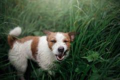 Terrier de Jack Russell do cão na grama imagens de stock royalty free