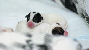 Terrier de Jack Russell dos cachorrinhos do cão mesmo após o nascimento Encontram-se na cama Fotografia de Stock