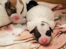 Terrier de Jack Russell dos cachorrinhos do cão mesmo após o nascimento Encontram-se na cama Imagens de Stock Royalty Free