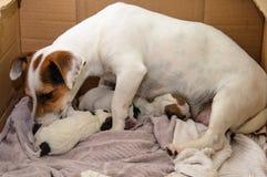 Terrier de Jack Russell dos cachorrinhos do cão mesmo após o nascimento Encontram-se na cama Imagens de Stock