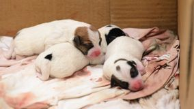 Terrier de Jack Russell dos cachorrinhos do cão mesmo após o nascimento Encontram-se na cama Foto de Stock