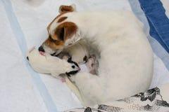Terrier de Jack Russell dos cachorrinhos do cão mesmo após o nascimento Encontram-se na cama Imagem de Stock