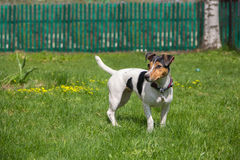 Terrier de Jack Russell em um gramado Imagens de Stock Royalty Free