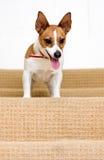 Terrier de Jack Russell em uma escadaria Fotografia de Stock