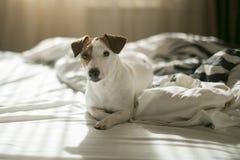 Terrier de Jack Russell en cama Imágenes de archivo libres de regalías