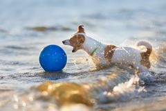 Terrier de Jack Russell en el mar imagen de archivo