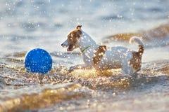 Terrier de Jack Russell en mer Photo libre de droits