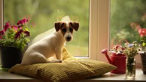Terrier de Jack russell que encontra-se na janela filme
