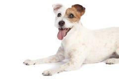 Terrier de Jack russell que encontra-se para baixo fotos de stock