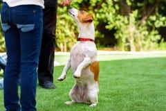 Terrier de Jack Russell que olha nos propriet?rios, fora C?o que implora pelo alimento no por do sol imagens de stock