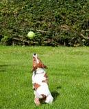 Terrier de Jack Russell que salta para sua esfera Fotos de Stock Royalty Free