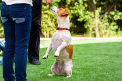 Terrier de Jack Russell regardant sur les propri?taires, dehors Chien priant pour la nourriture au coucher du soleil images stock