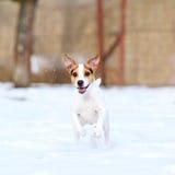 Terrier de Jack Russell sautant en hiver photo libre de droits