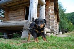 Terrier de Jagd del perro Fotos de archivo