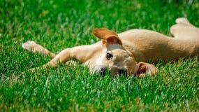 Terrier de juguete Fotografía de archivo