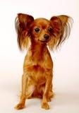 Terrier de juguete Imagen de archivo