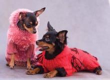 Terrier de juguete de dos rusos en ropa Imagen de archivo libre de regalías