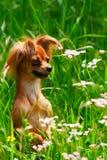 Terrier de juguete del perro en hierba fotos de archivo libres de regalías