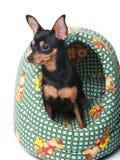 Terrier de juguete en una cesta Foto de archivo